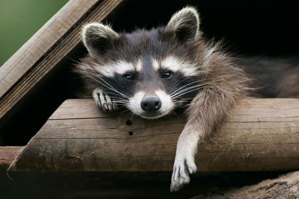Raccoon in a wooden house