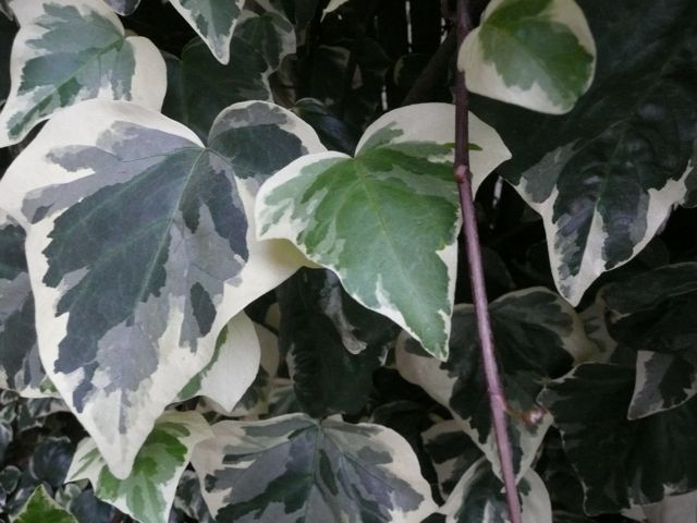 Variegated green and white ivy with red stem.