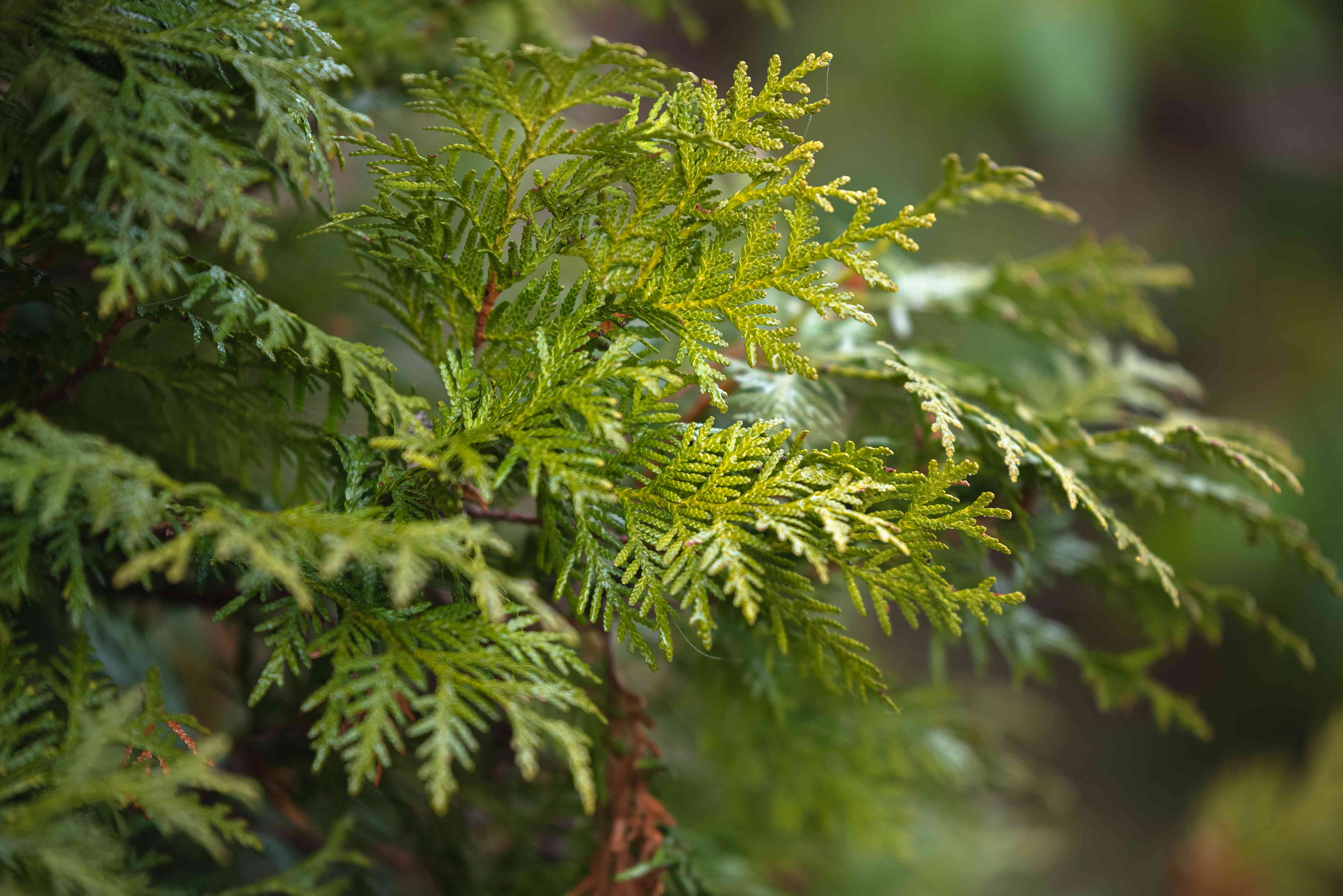 Emerald green arborvitae tree branch and glossy leaves closeup