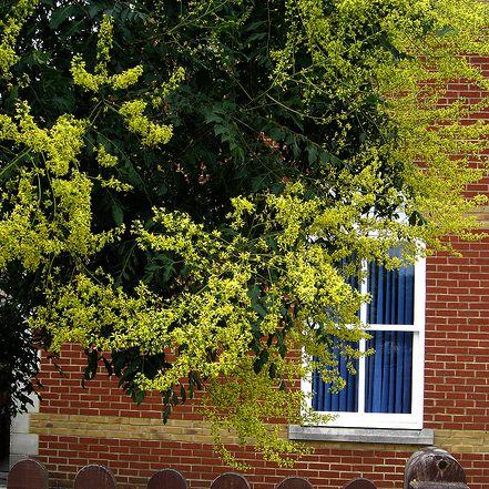 Imagen del árbol Goldenrain