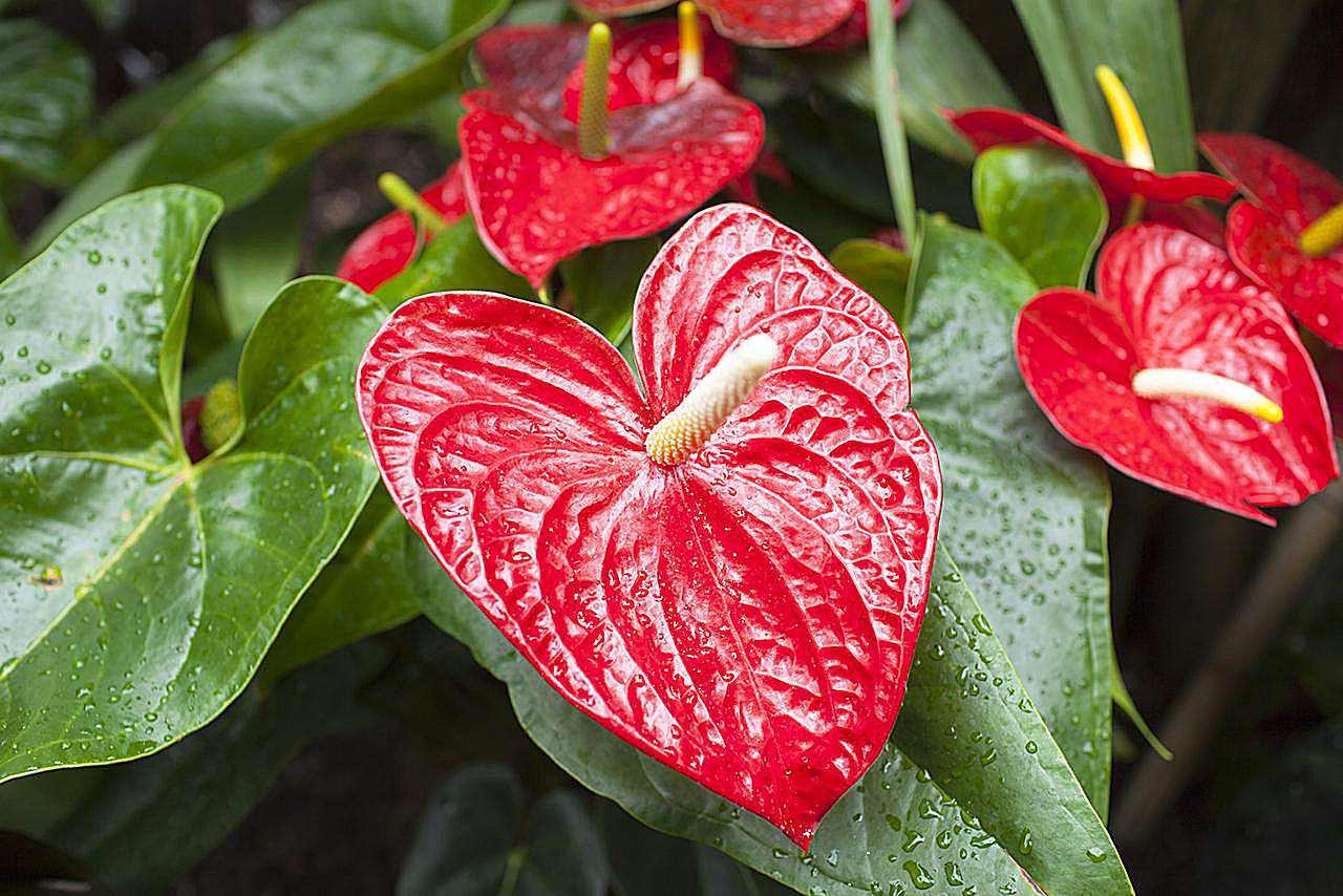 Flor de flamenco, planta tropical Anthurium rojo, del grupo de plantas arum Araceae con gotas de agua. También conocido como Boy Flower