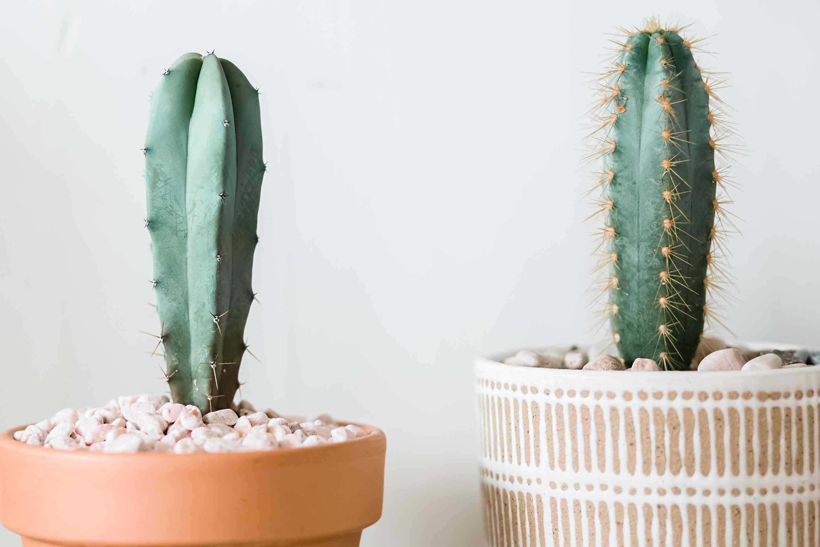 closeups of Pilosocereus Cacti