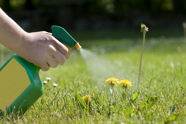 Dandelions being sprayed with a spray bottle in a sunny field.
