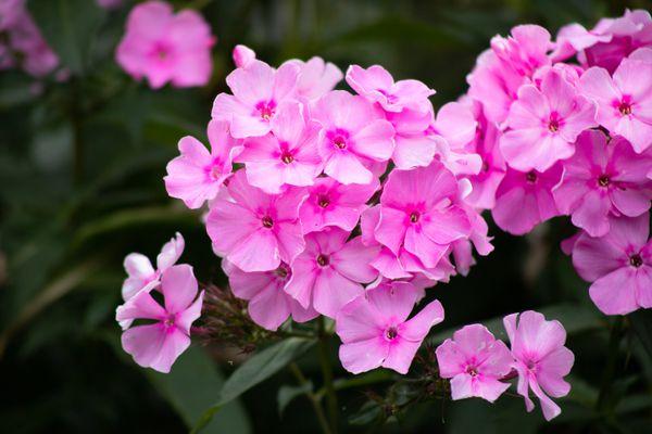 Phlox drummondii with pink flowers closeup