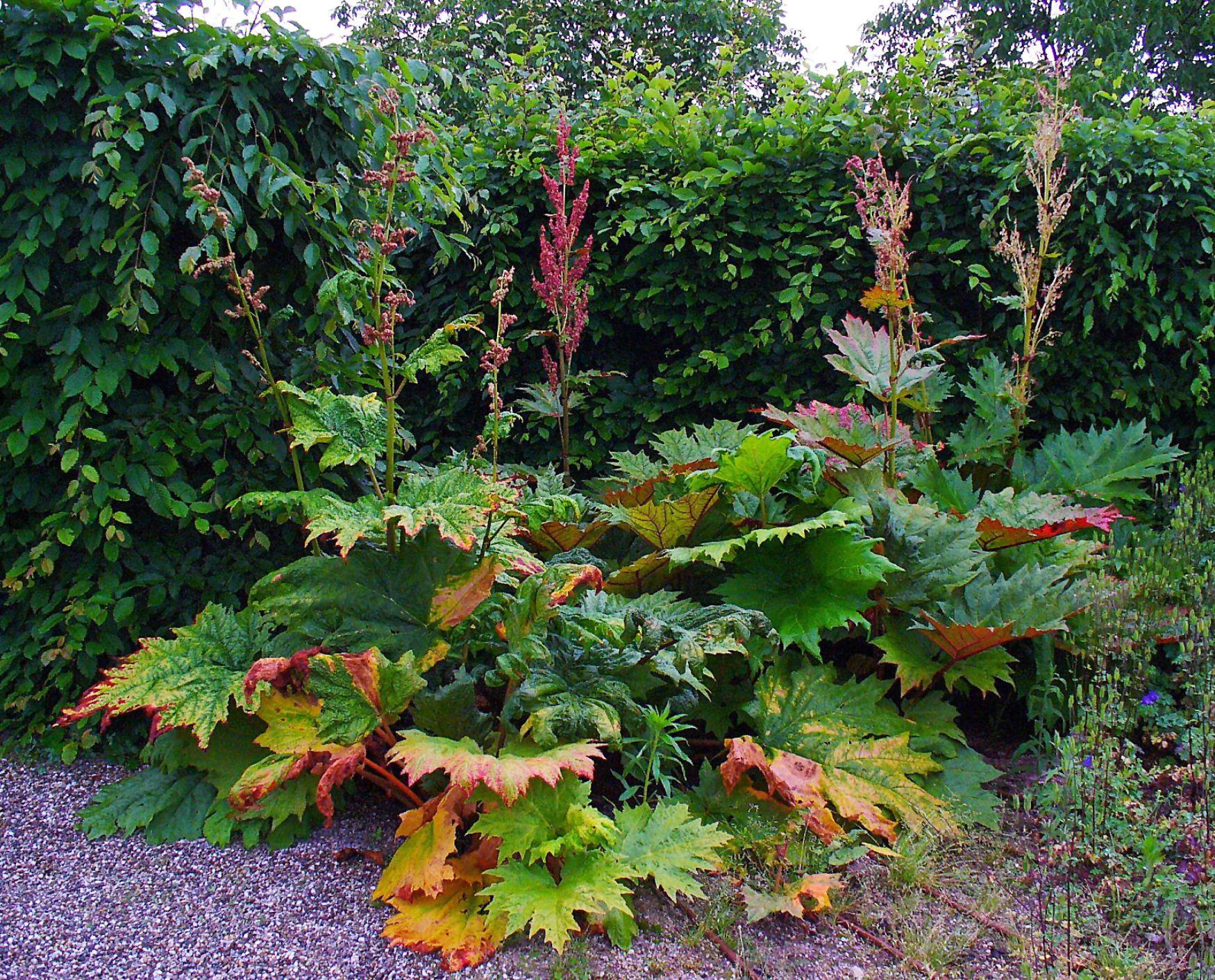 Rheum palmatum 'Atrosanquineum Ornamental Rhubarb