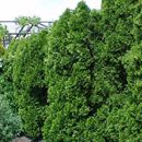 'Emerald Green' Arborvitae