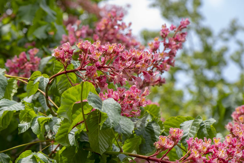 Close-up image of the spring flowering, red flowers of Aesculus x carnea Briotii also known as the red Horse Chestnut or Red Buckeye