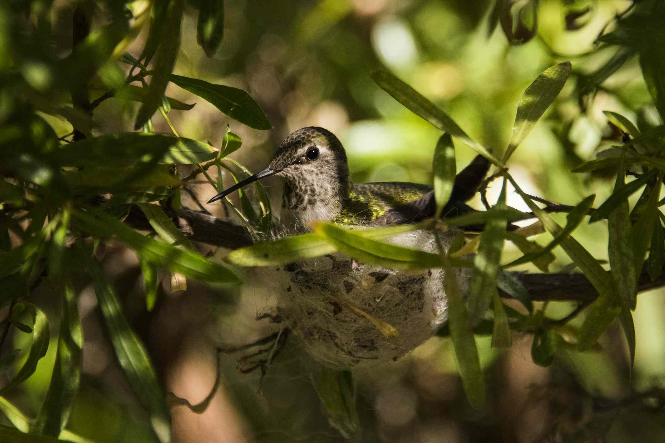 A hummingbird sitting in its nest in a tree.