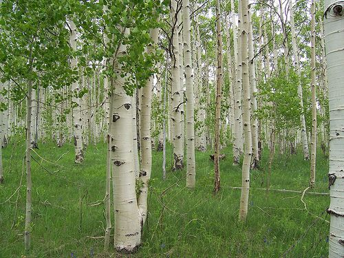 Picture of of Quaking Aspen