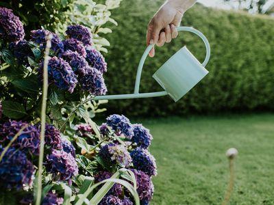 Image of watering a purple hydrangea in a garden