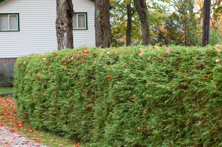 Hedge Made Of Arborvitae Shrubs
