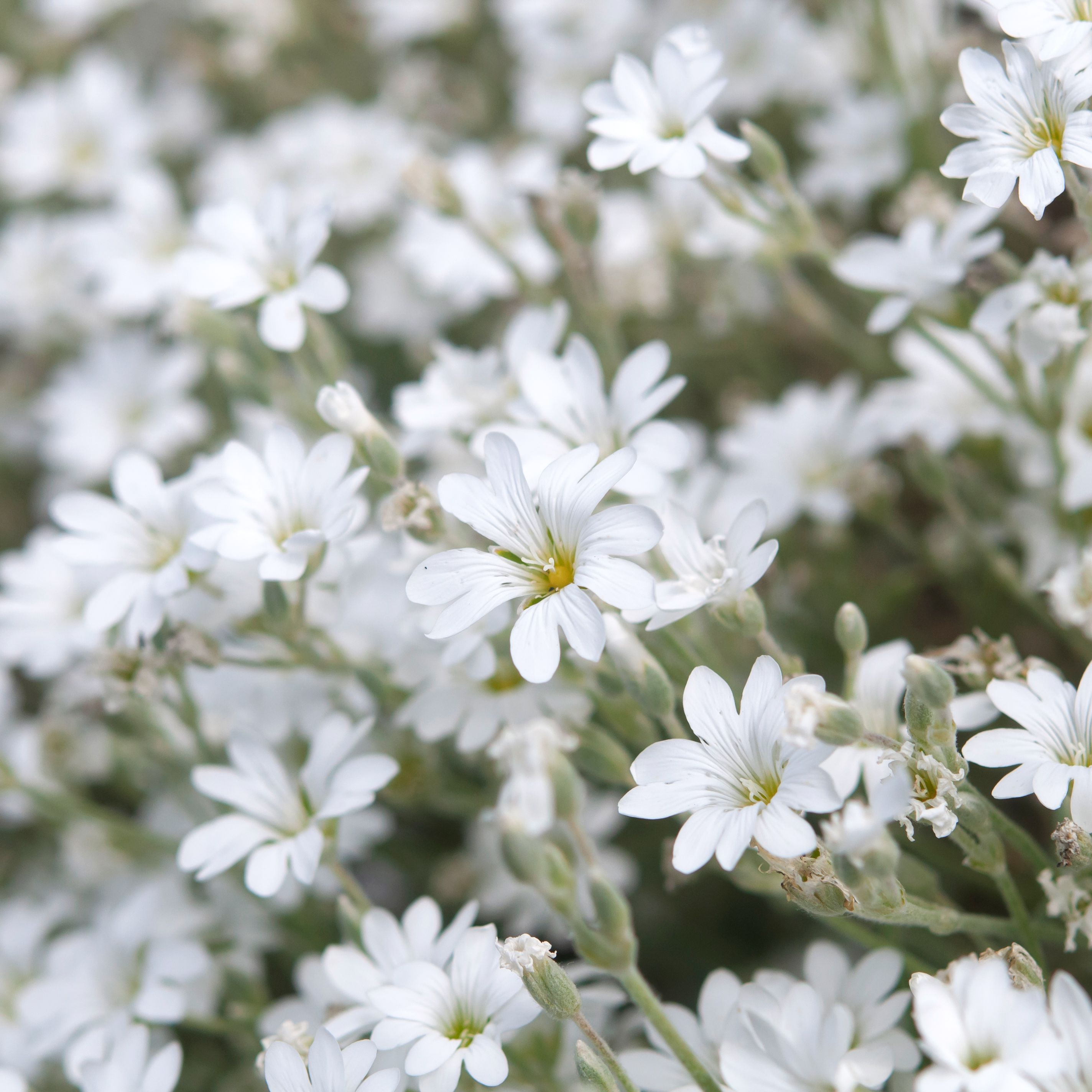 Snow-In-Summer: Plant Care