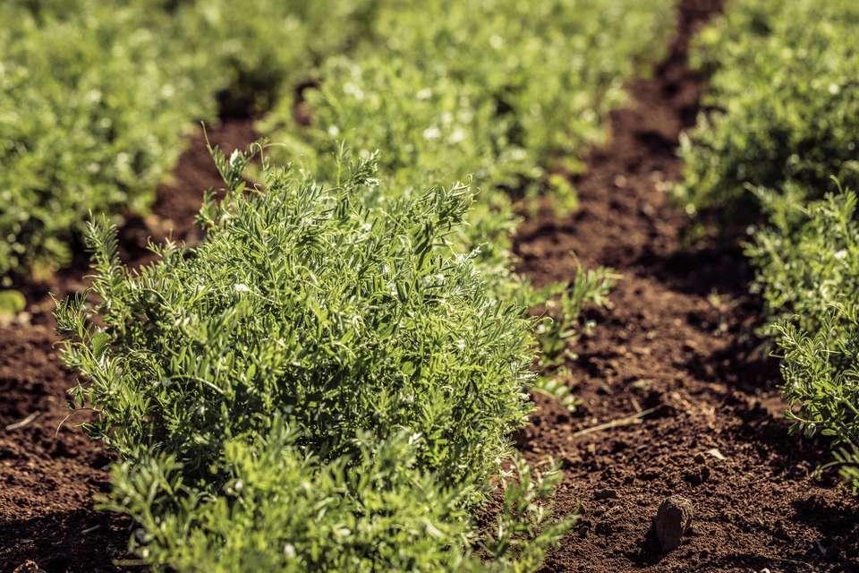 Rows of Lentil plants (Lens culinaris Medik.) grow in fresh soil.
