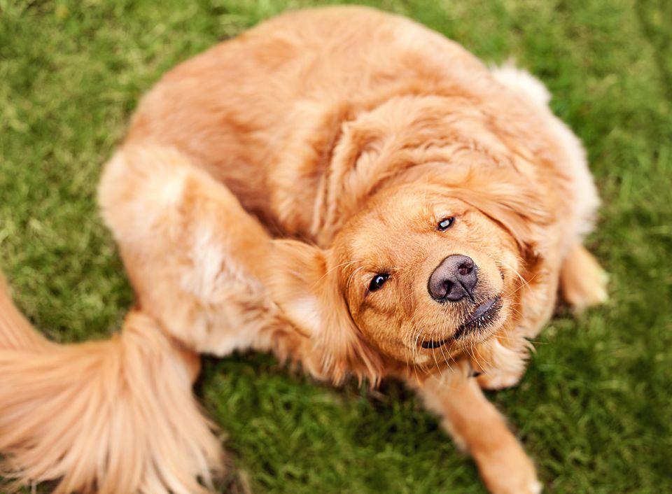 Dog scratching its ear