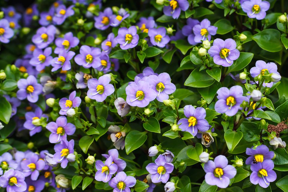 Numerous blooms of Persian violets.