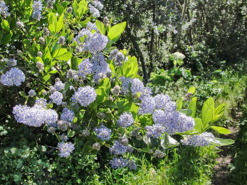 The blue blossom ceanothus is originally from California