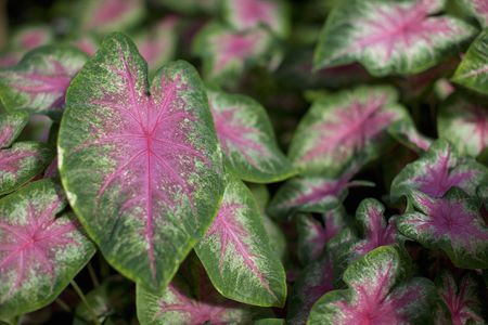 Caladiums tropical perennials for every shade garden overview and description caladiums are tuberous tropical plants mightylinksfo