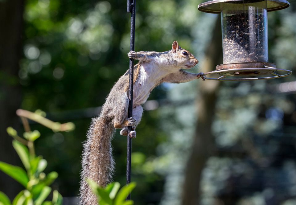 A squirrel reaching for a bird feeder