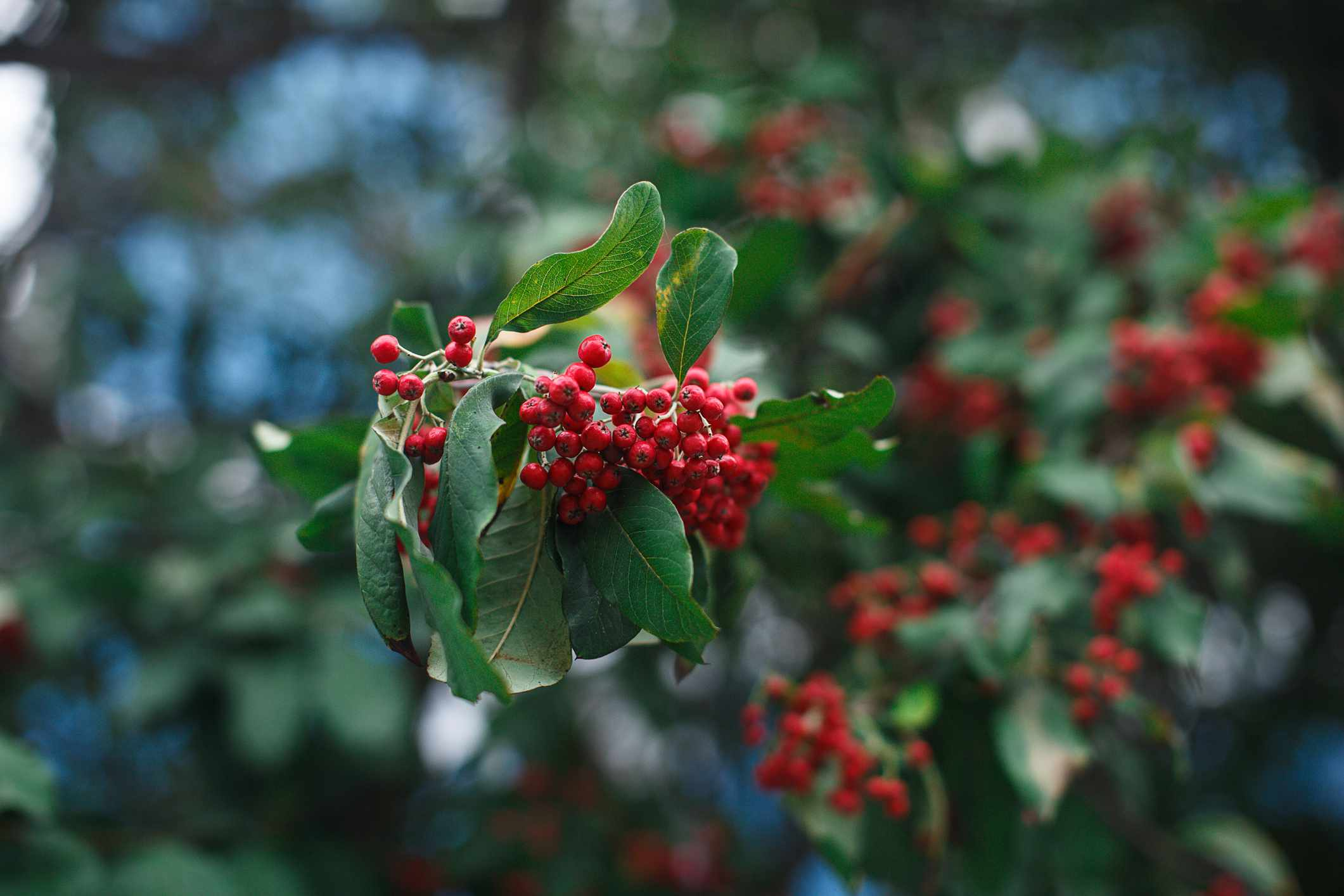 A branch of red winterberry holly tree