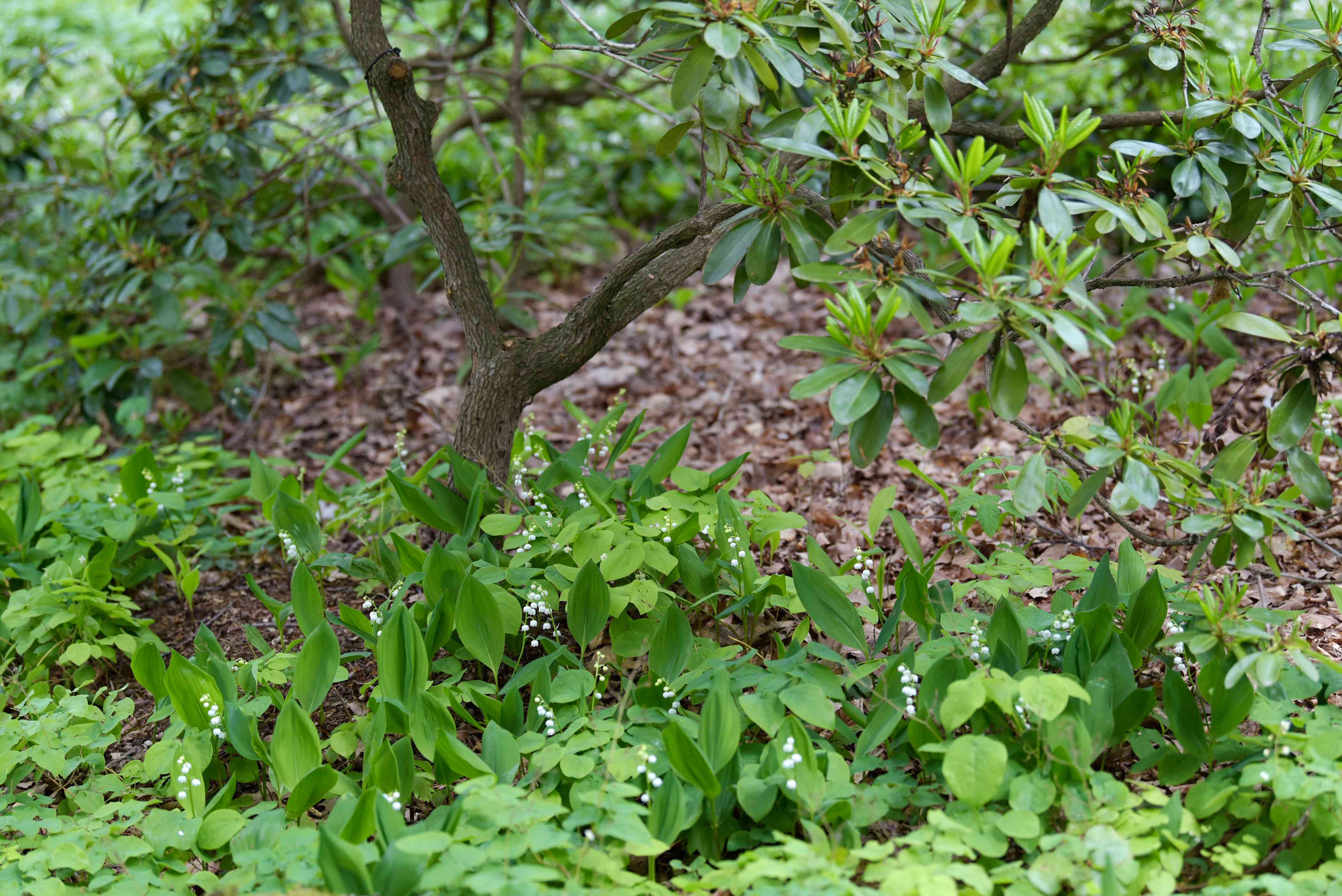 Lily of the valley plants surrounding tree base with petite white flowers