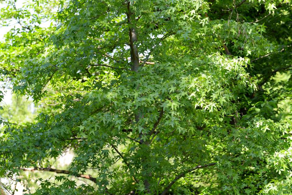 American sweetgum tree with bright star-shaped leaves in partial shade