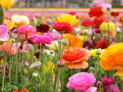 How To Grow Lisianthus Flowers In The Garden