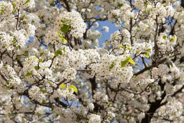 Calley pear tree with small white flower blossoms