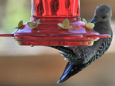 More Birds Than Hummingbirds Will Visit Nectar Feeders