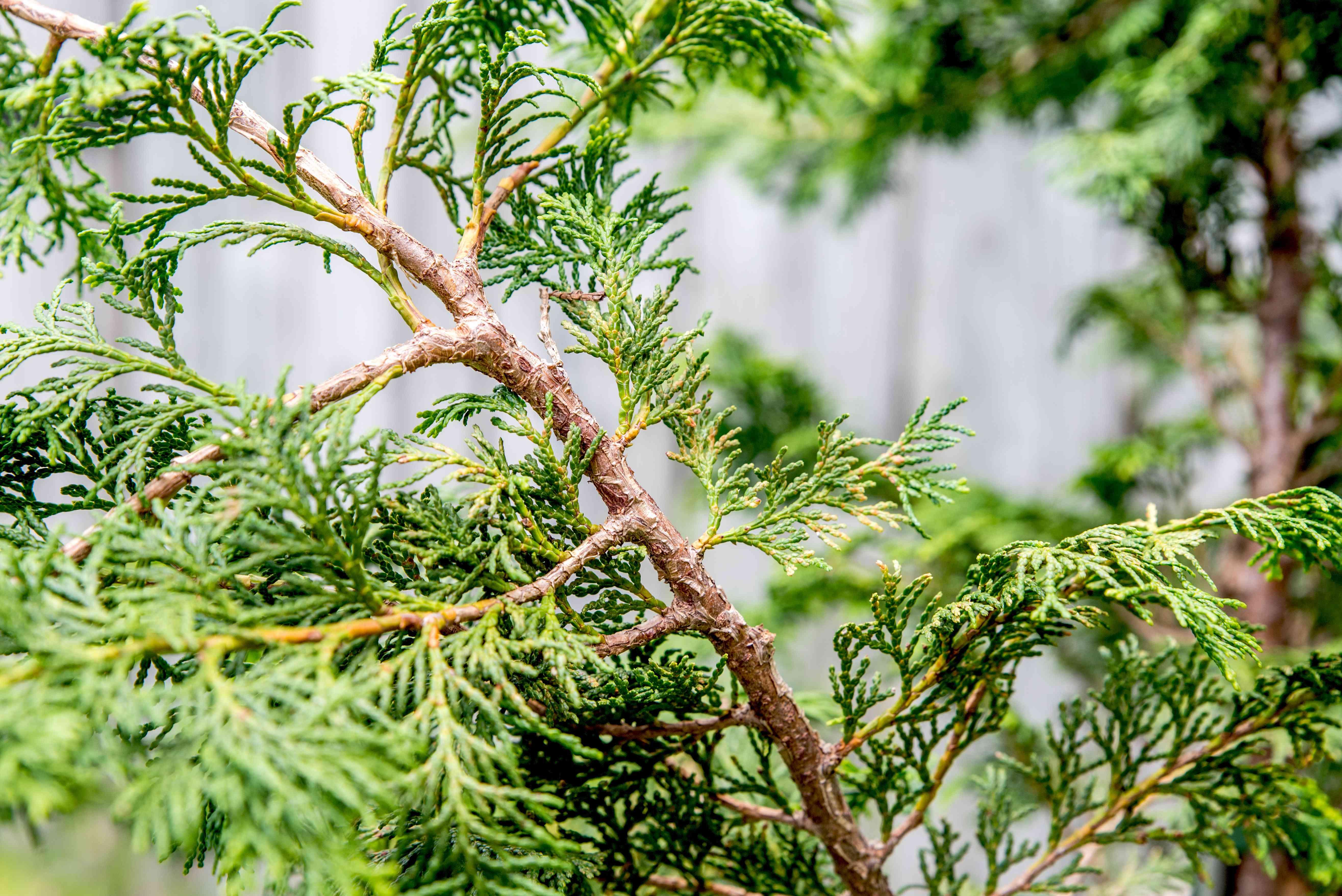 hinoki cypress tree leaf detail