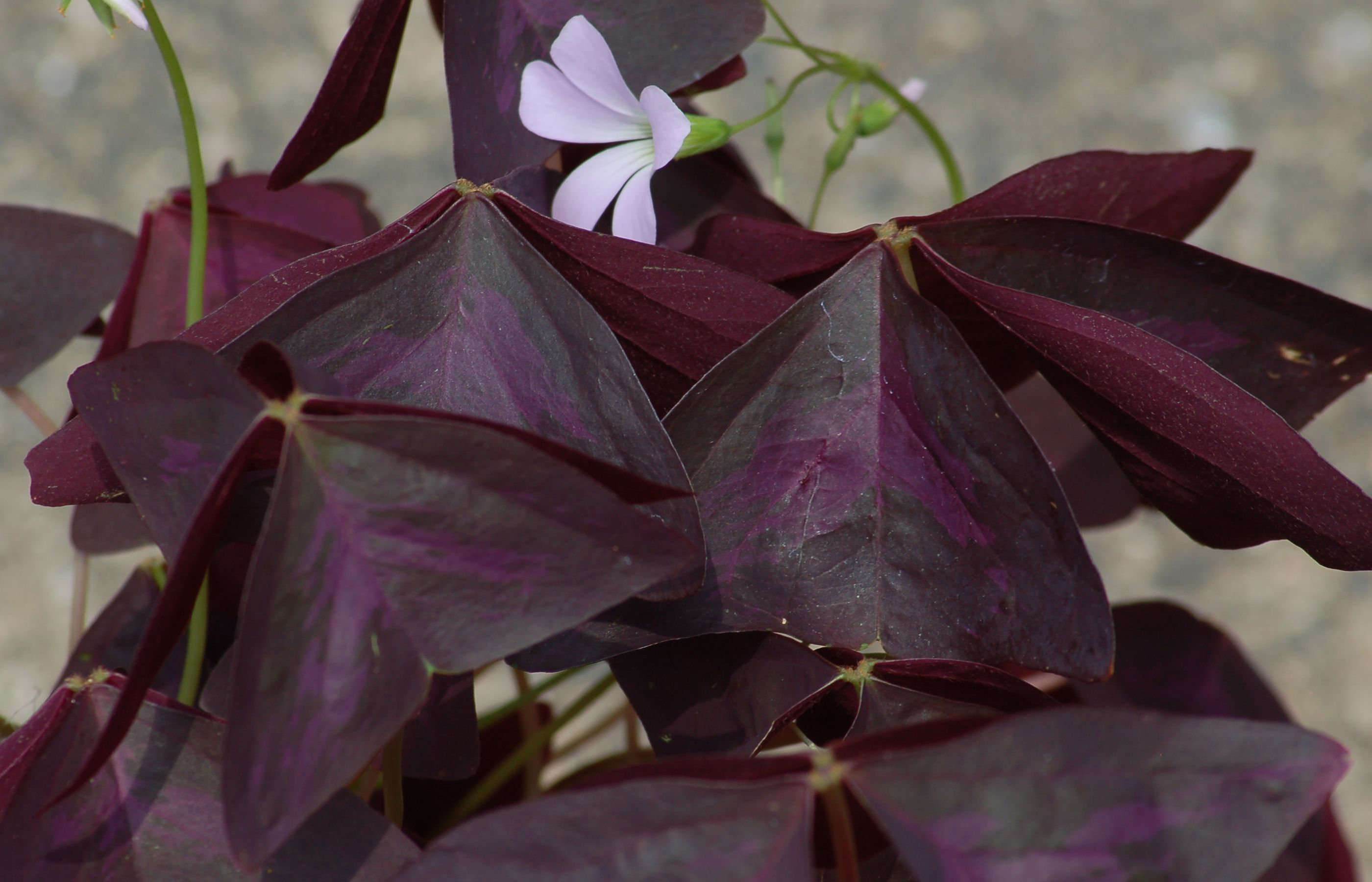Purple Shamrock Plant: Care and Growing Guide on purple leaf plants with leaf, purple leaf shrub with pink flowers, hydrangea with purple leaves,