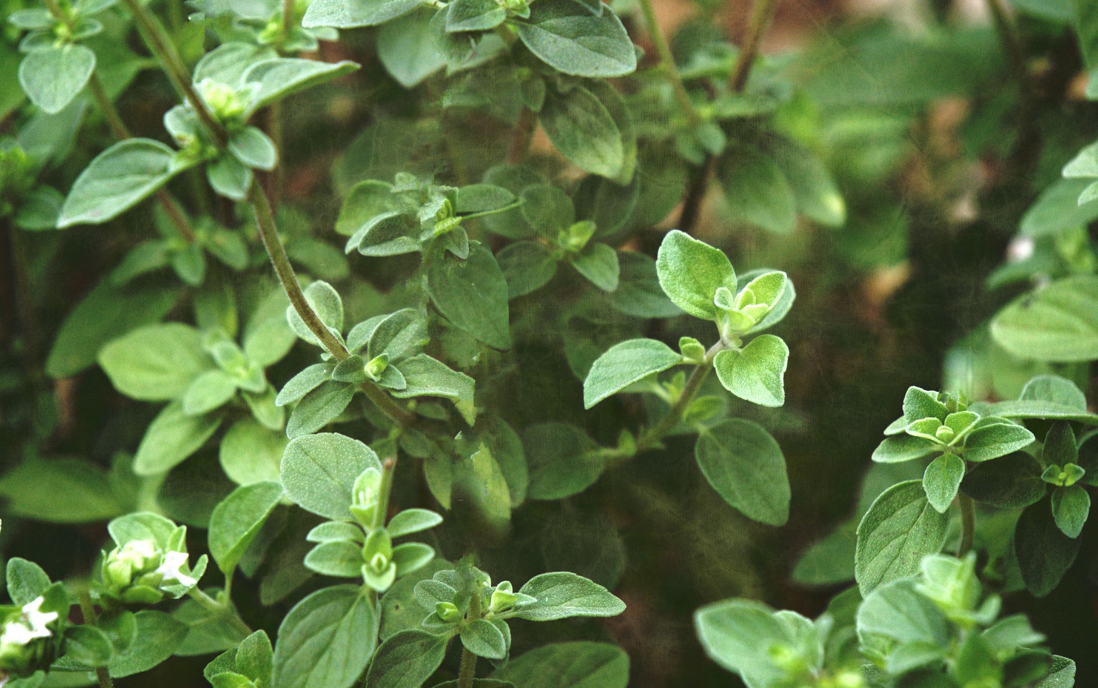 19 Plants That Repel Insects Basil Top Rust