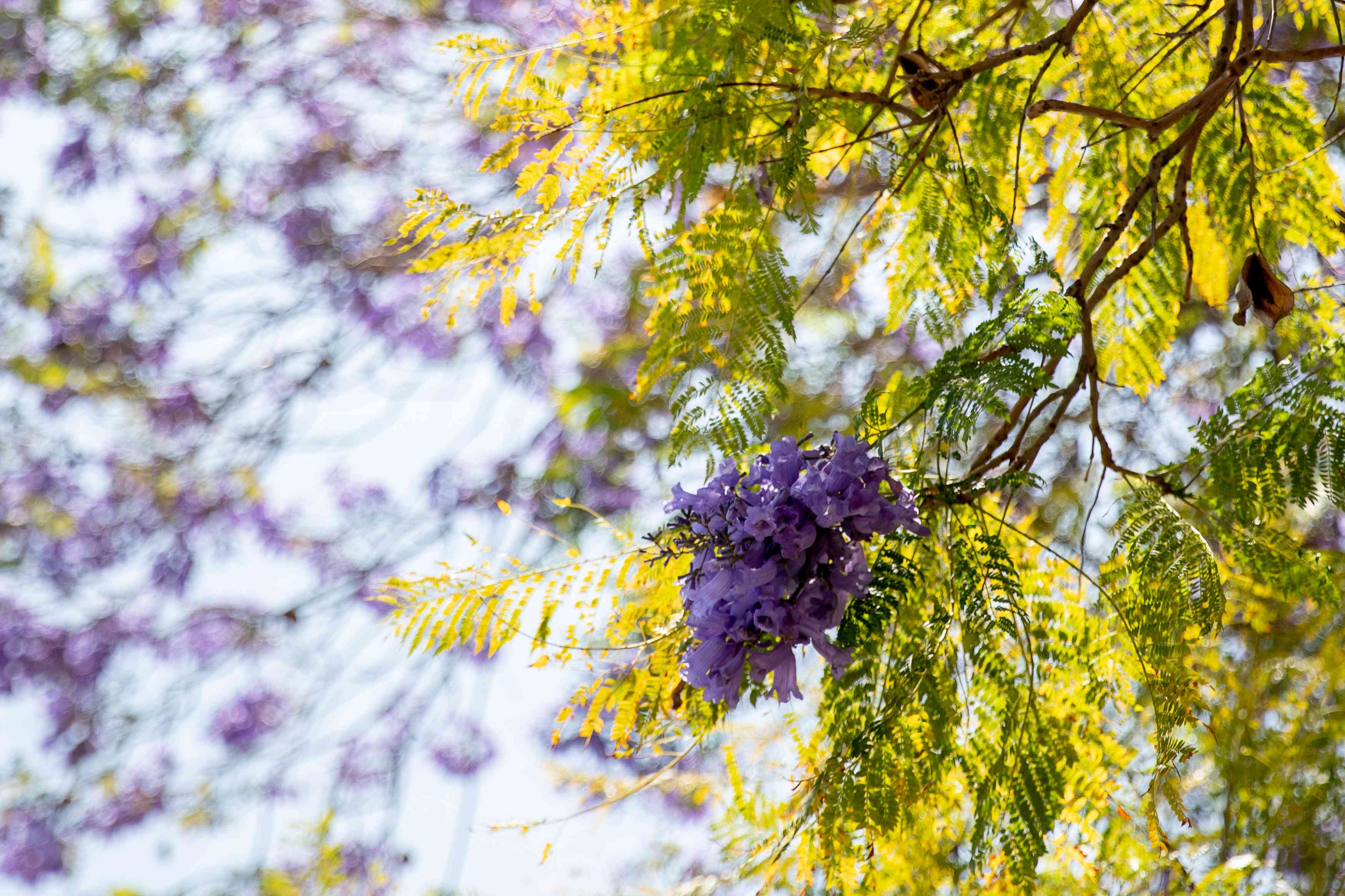 Jacaranda tree branch with yellow and green fern-like leaves and purple trumpet-like flowers