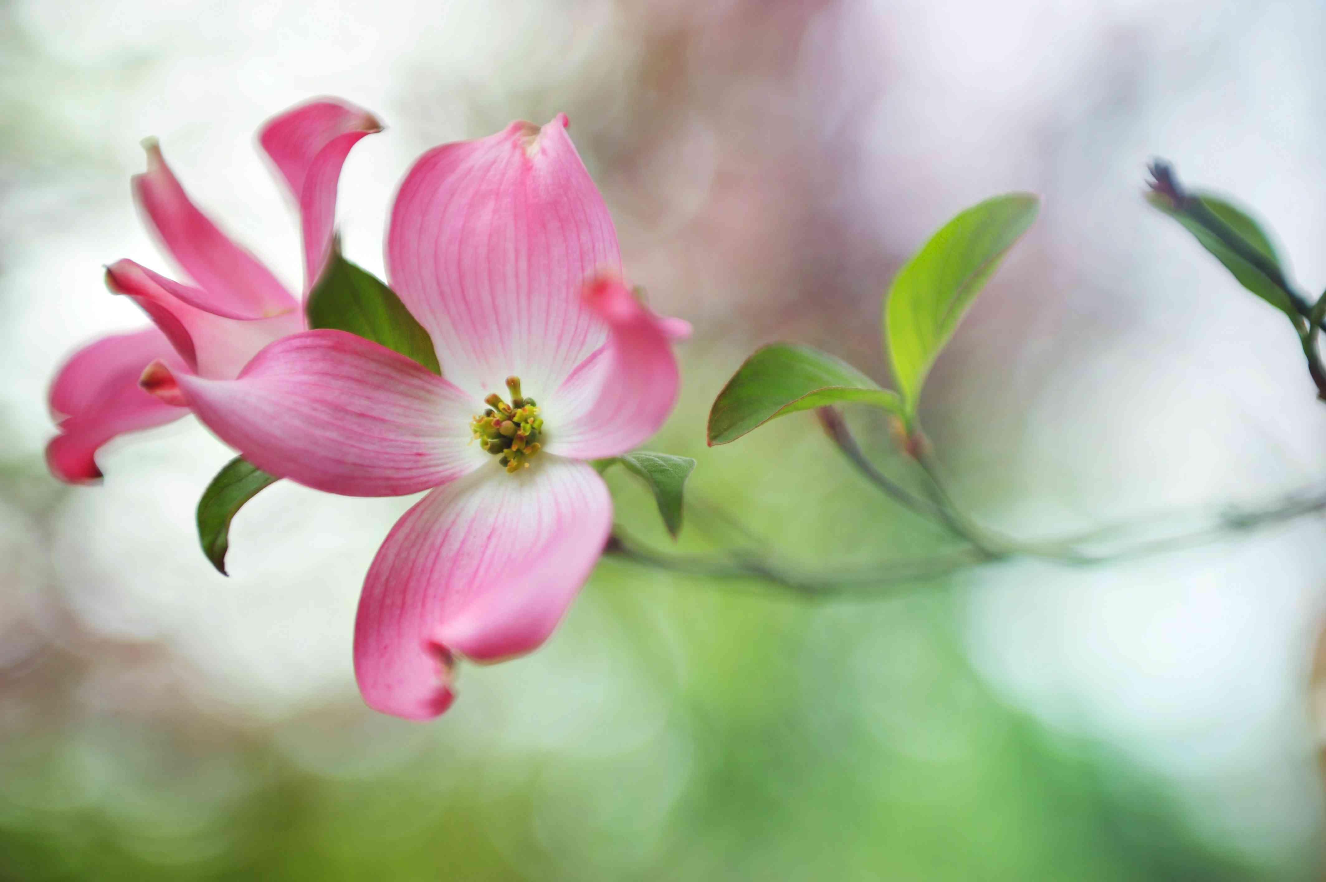 closeup of pink dogwood tree