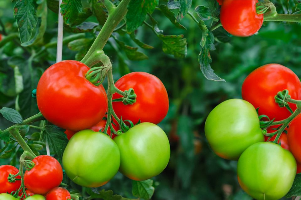 ripe and unripe tomatoes