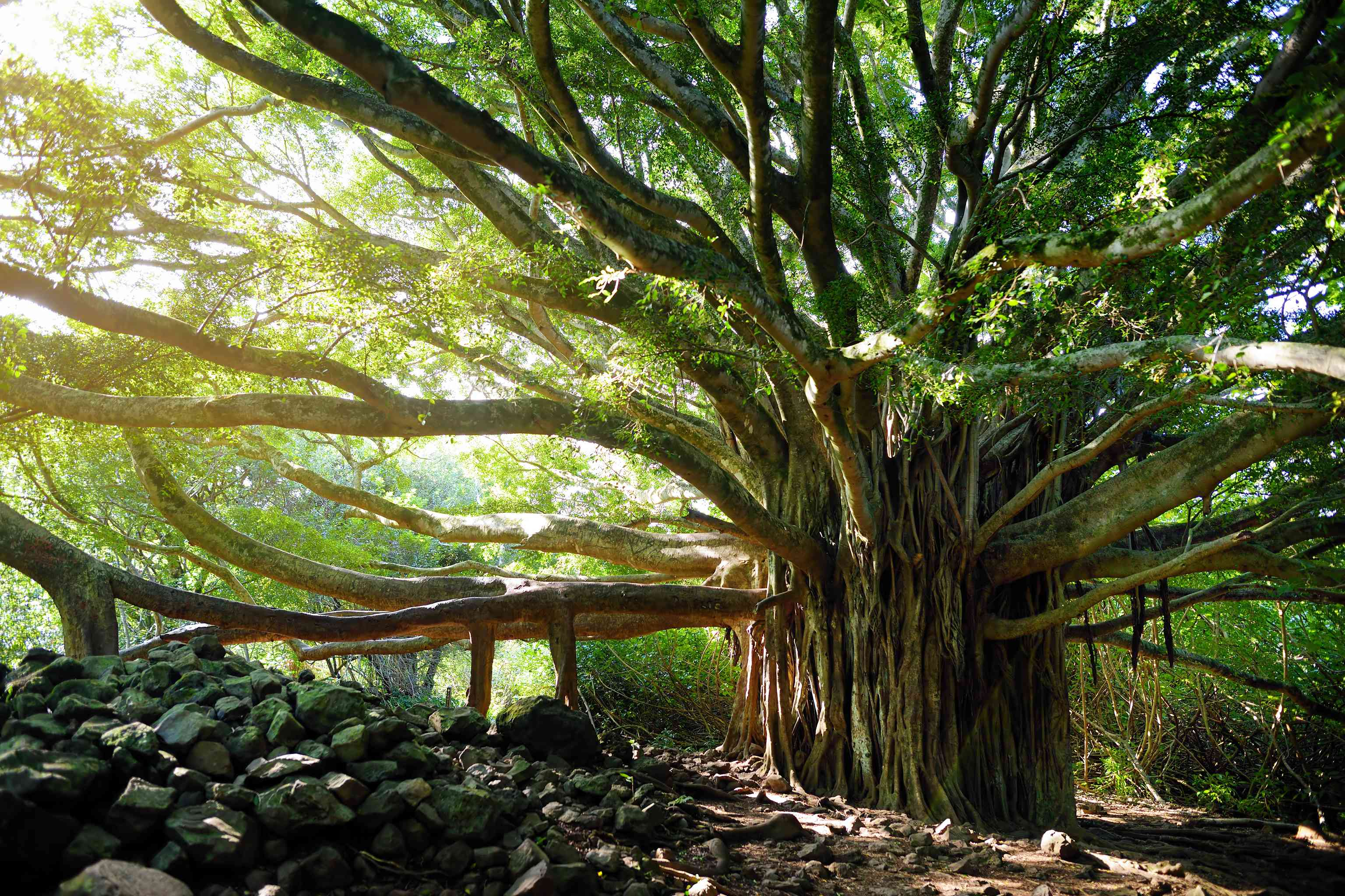 Indian banyan tree