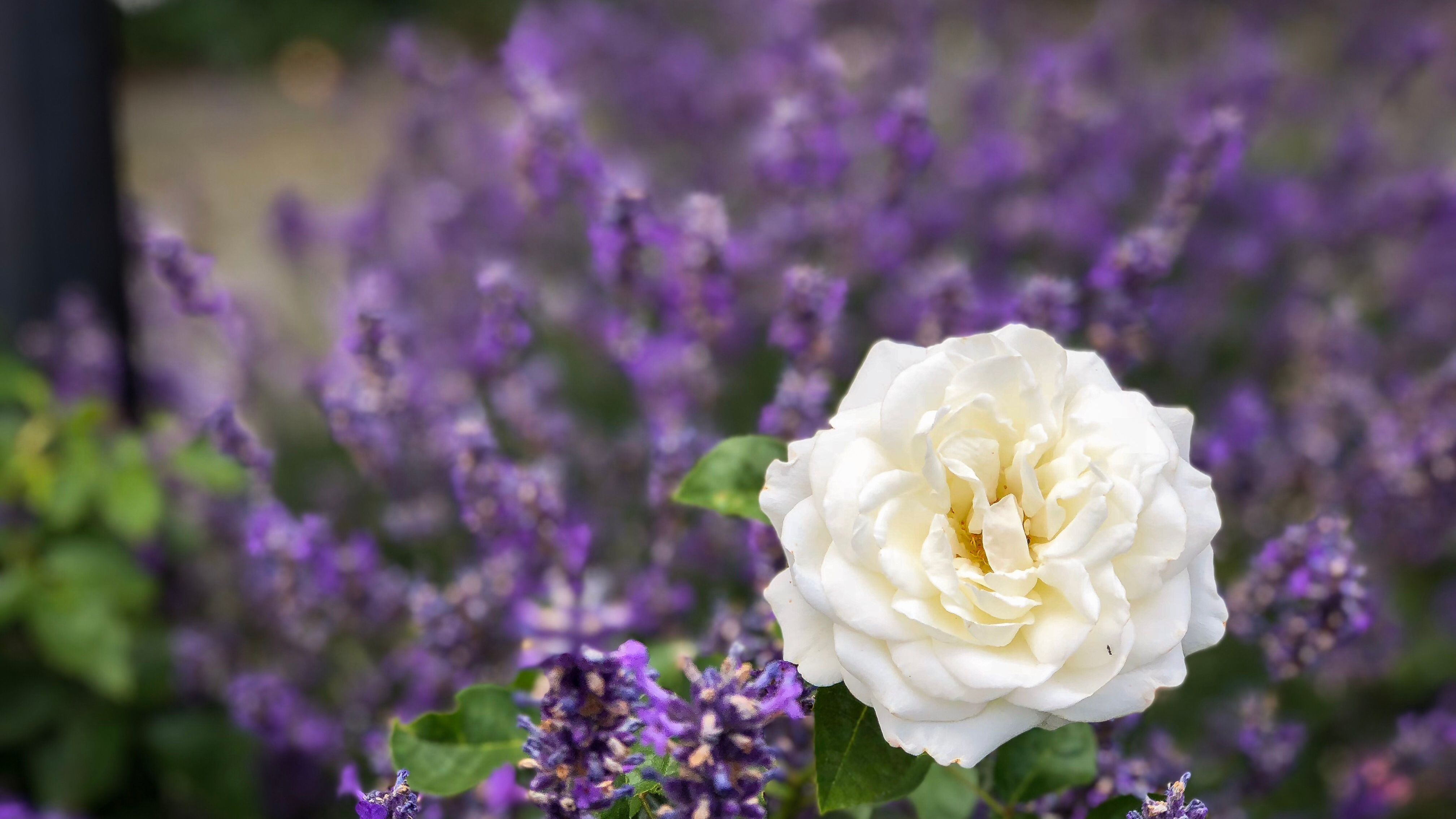 What To Plant With Roses In The Garden