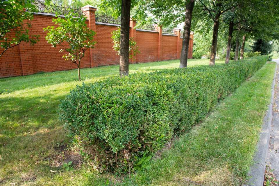Wintergreen boxwood shrub trimmed in a rectangular form between trees and road