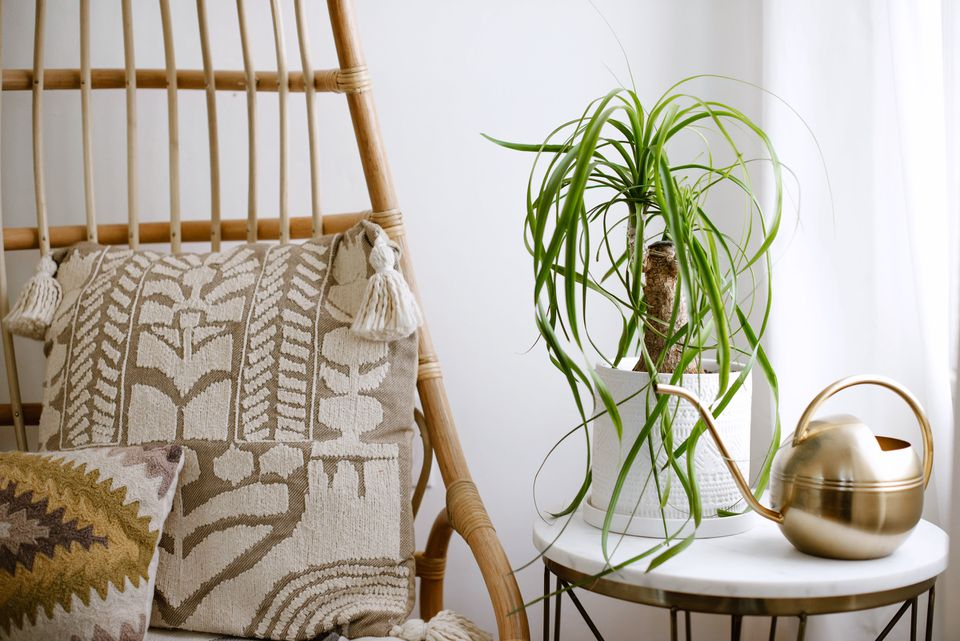ponytail palm on an end table