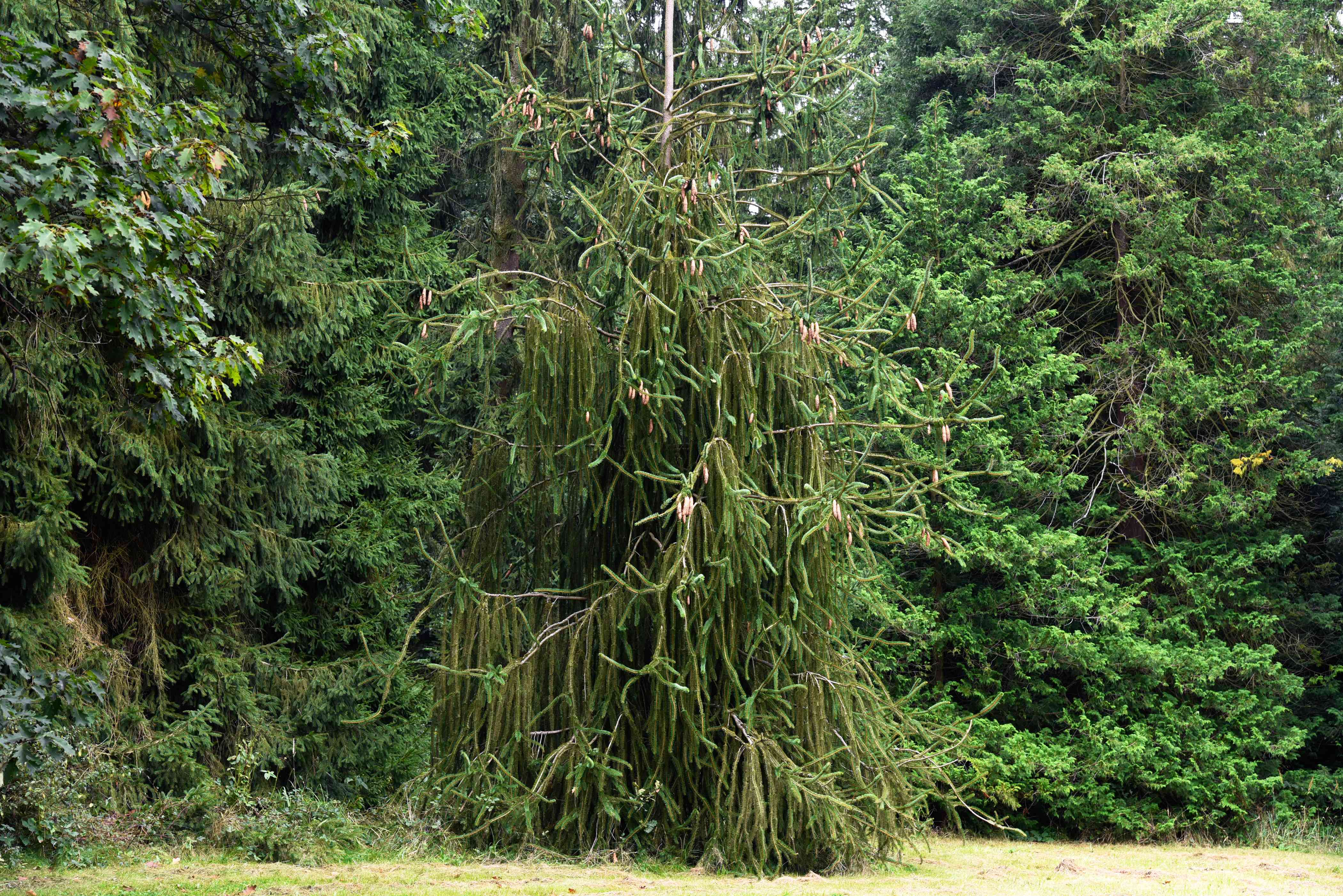 Weeping Norway spruce tree with thin extended branches with short evergreen needles hanging in wooded area