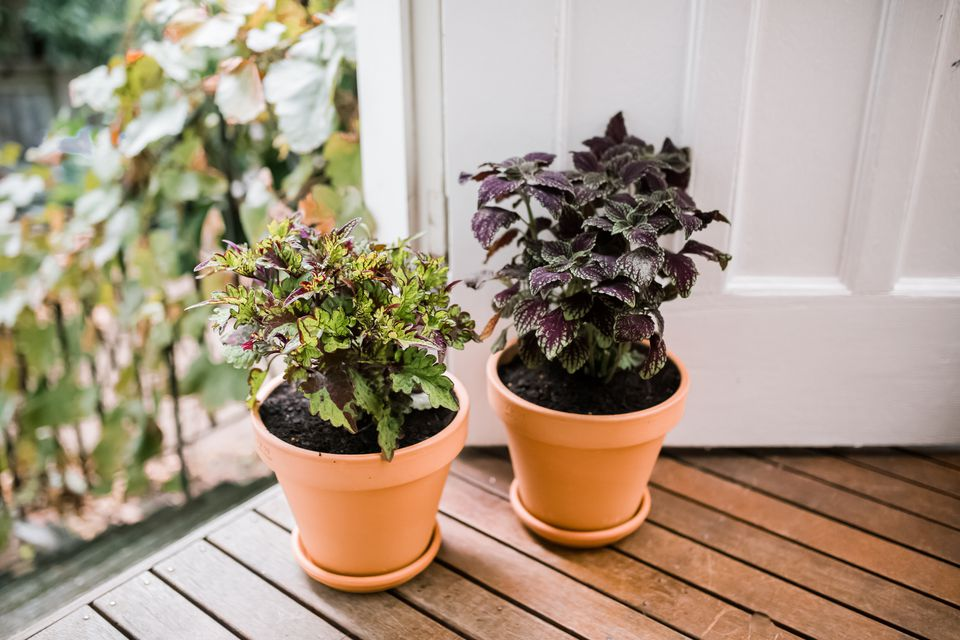 potted coleus plants