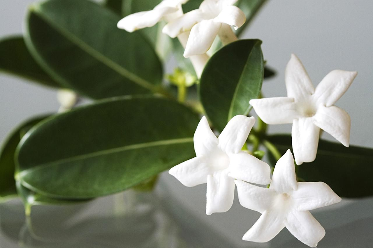Stephanotis Flowers For The Garden And Vase
