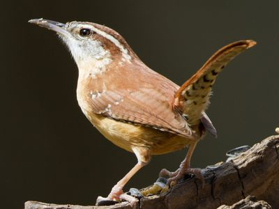 How to Attract Wrens to Your Yard