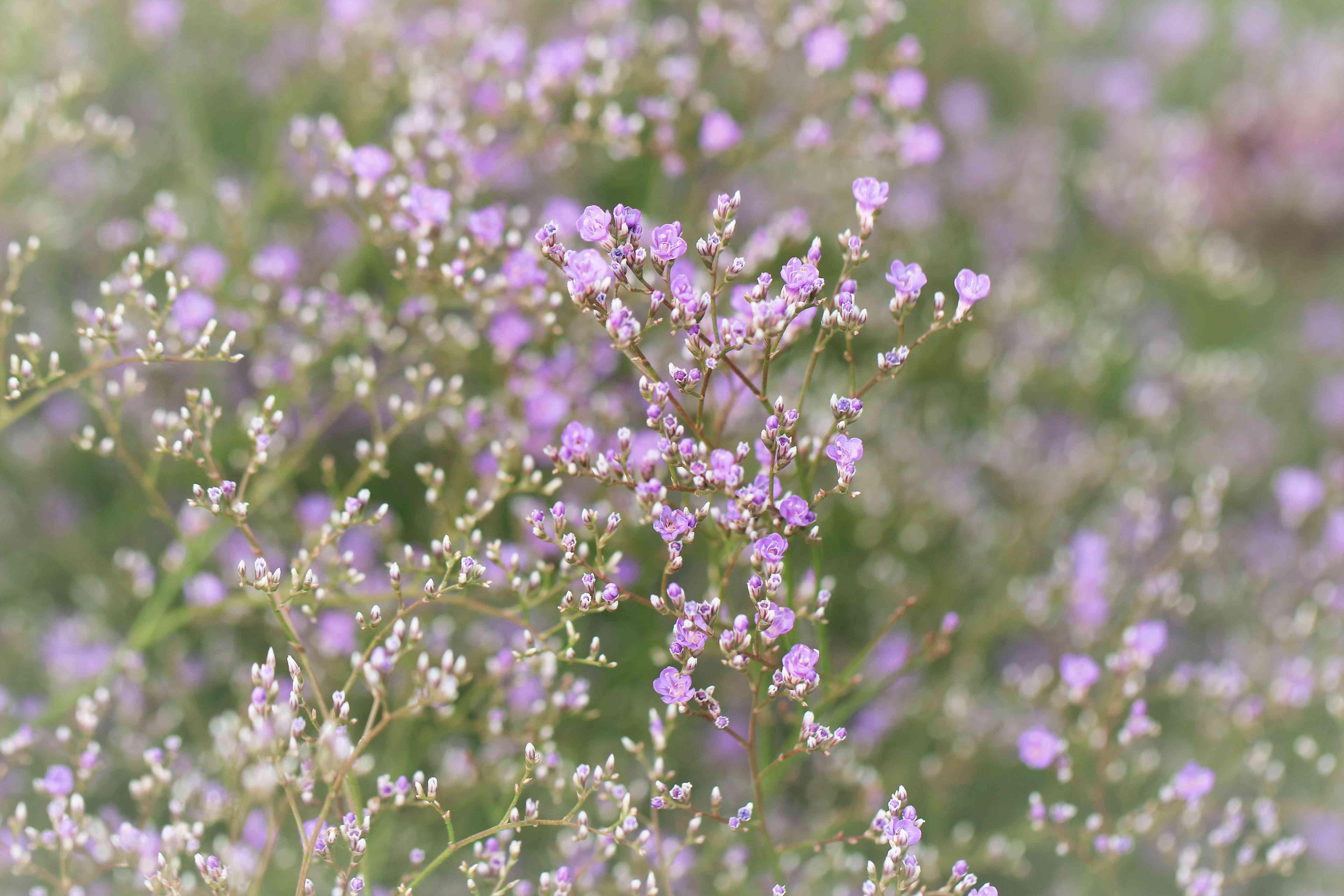 Limonium latifolium - Breitblaettriger Steppenschleier