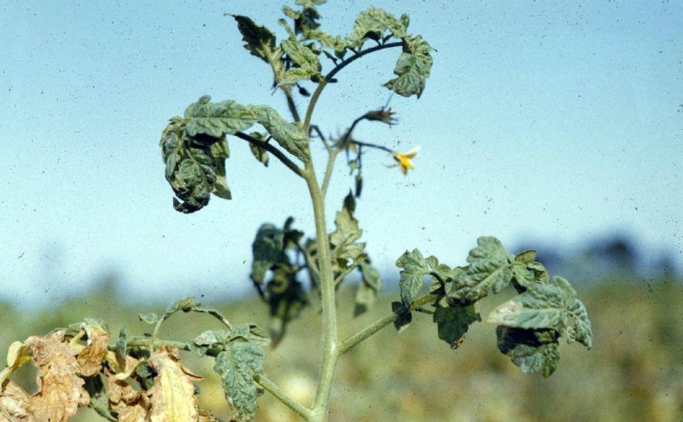 Wilting tomato plant