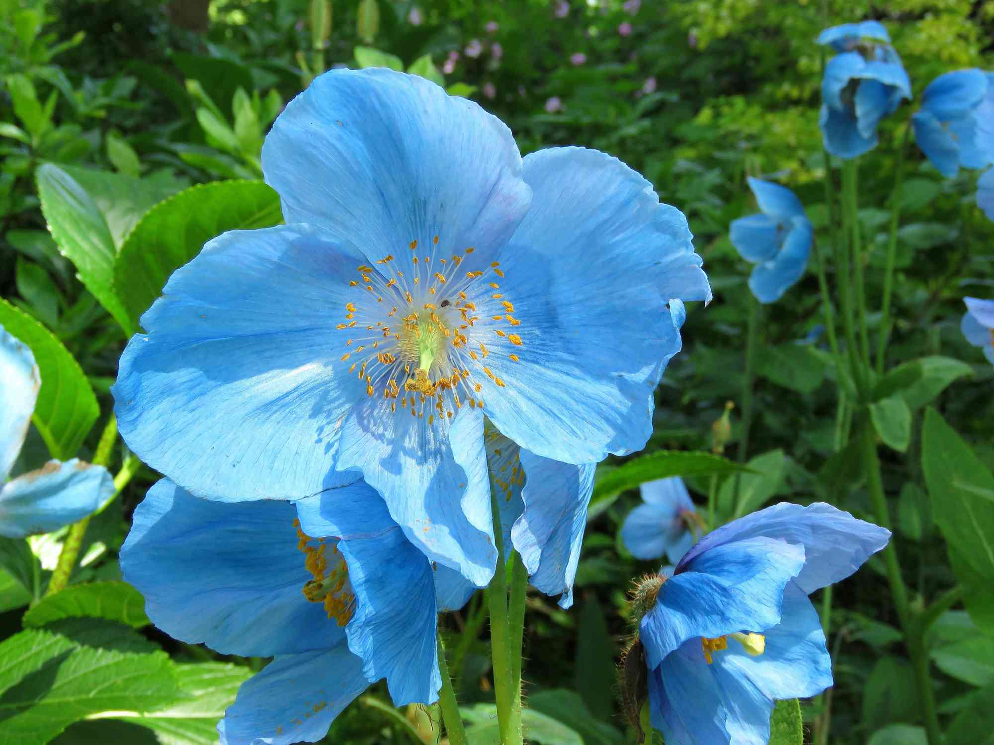 12 beautiful blue flowering plants for the garden tibetan blue poppy meconopsis izmirmasajfo