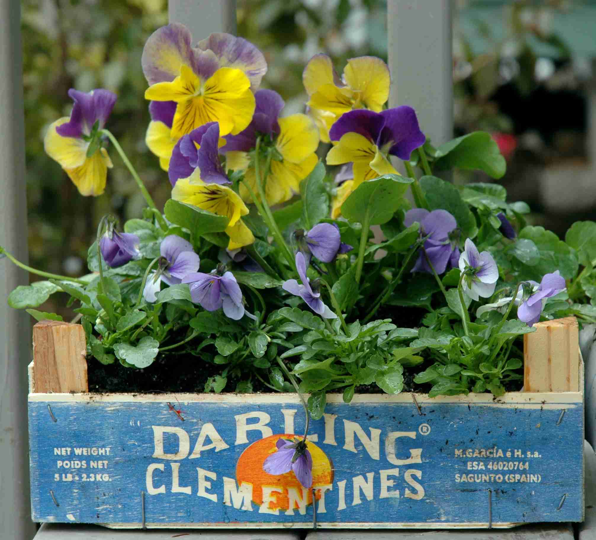 A close up of pansies and violas in a box