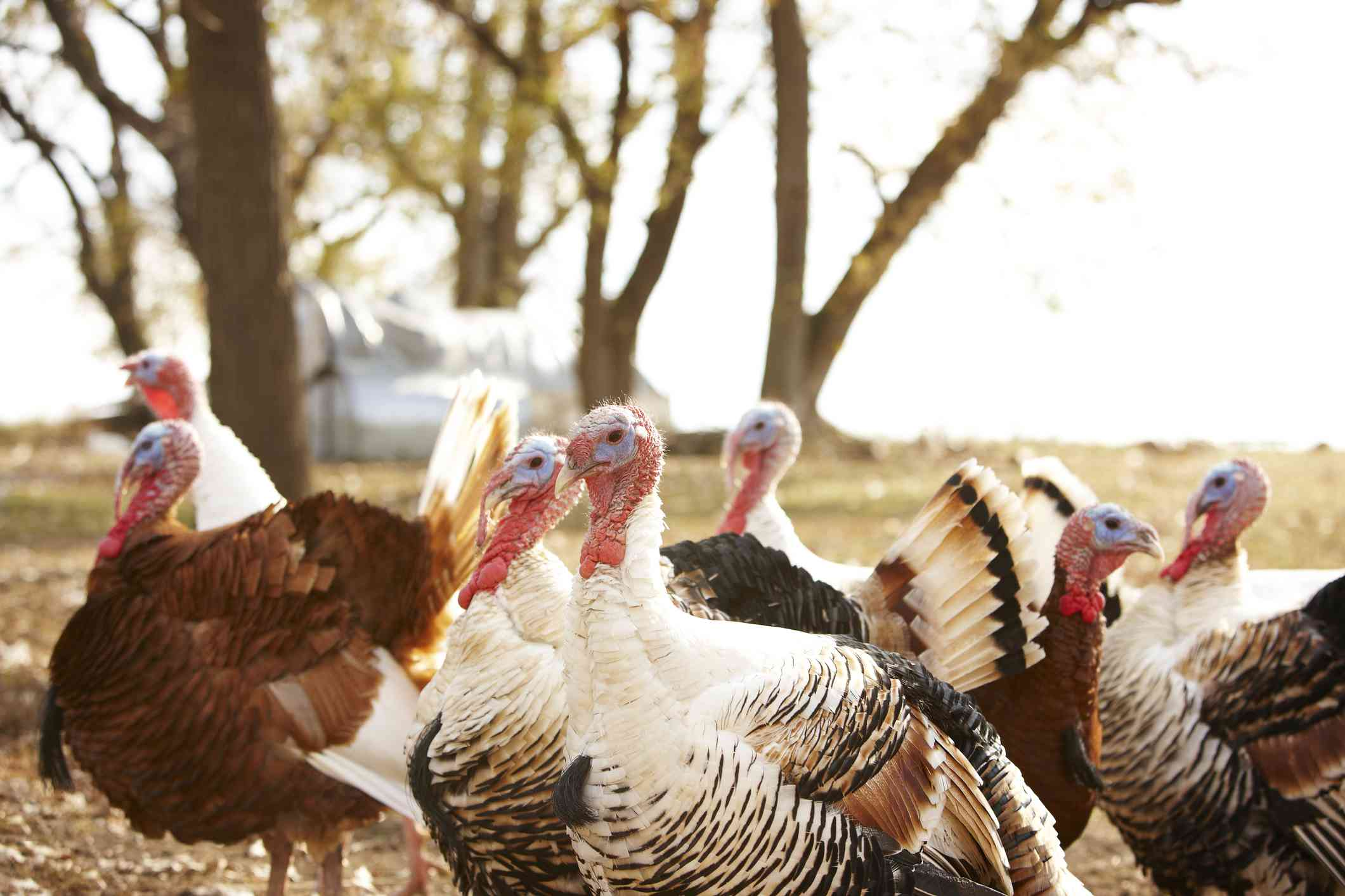 Flock of turkeys on farm