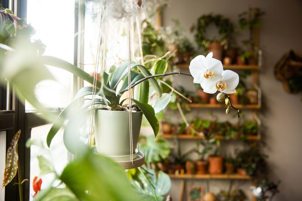 Potted orchid plant with white flowers suspended in handing planter near window