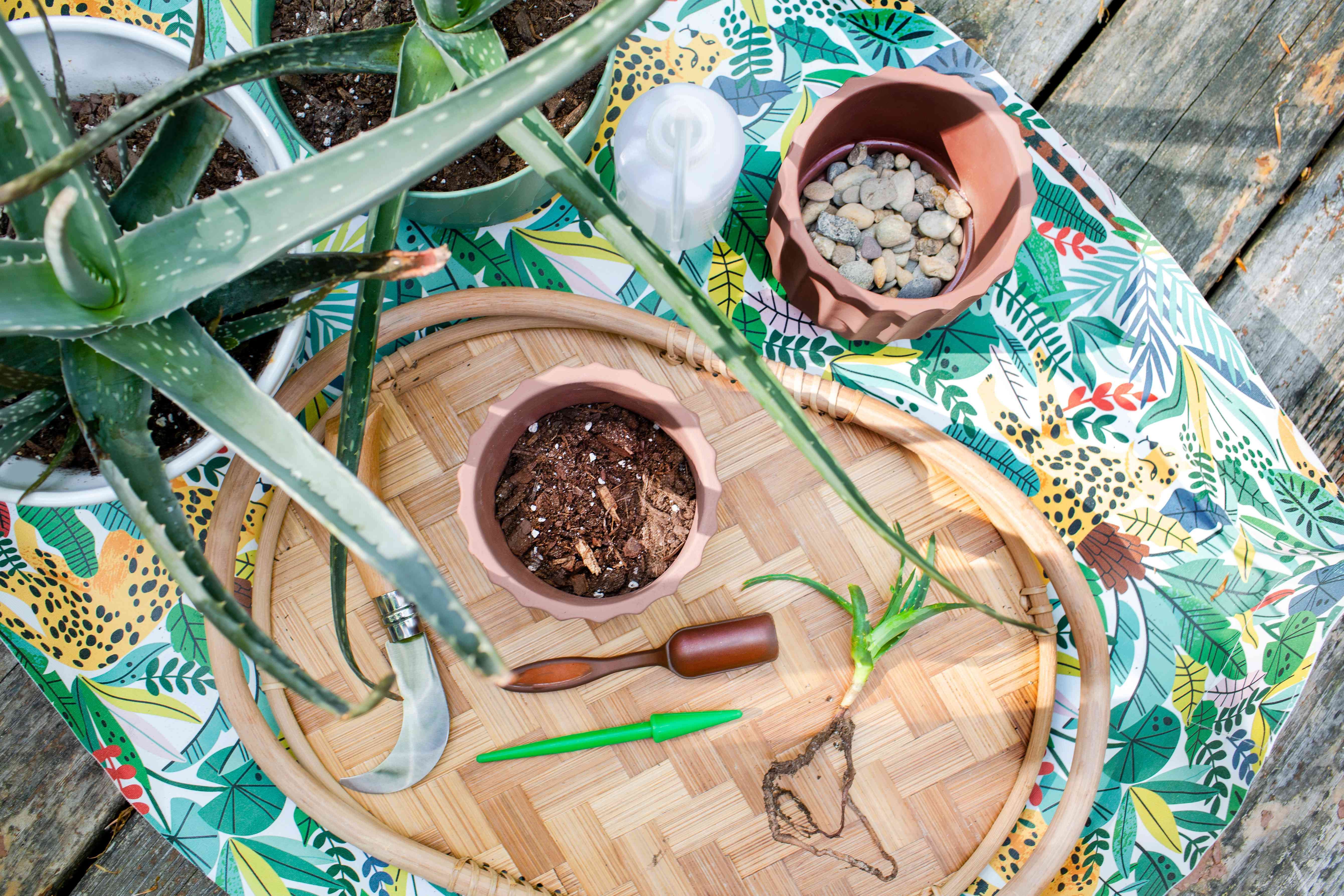 Materials and tools to propagate aloe vera plant on wicker tray and jungle-themed table cover