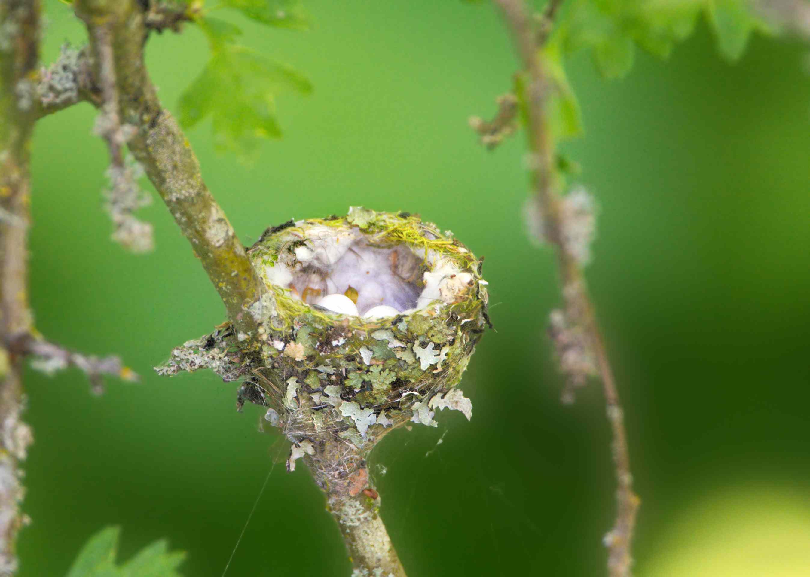 nido de colibrí Annas con 2 huevos